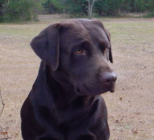 Tealbrook Kennels Labrador Retriever Training and Puppies